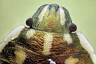 Shield Bug Head Poster