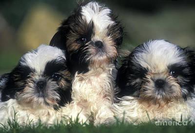 Shih Tzu Puppy Dogs Poster by Jean-Michel Labat