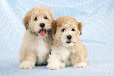 Shih Tzubichon Cross Pups Poster