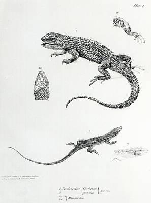 Shingled Iguana Poster