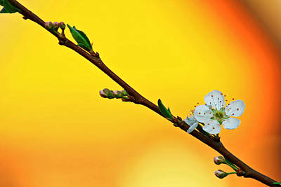 Shining Sakura Poster by Suradej Chuephanich