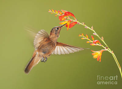 Poster featuring the photograph Shining Sunbeam Hummingbird by Dan Suzio