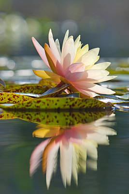 Shining Water Lily Poster
