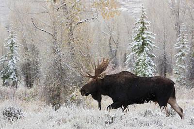 Shiras Bull Moose, Autumn Snow Poster by Ken Archer