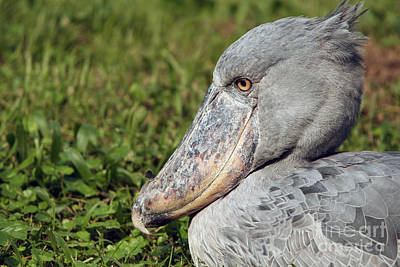 Poster featuring the photograph Shoebill Balaeniceps Rex by Liz Leyden