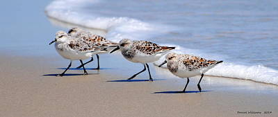 Shorebird Quartet Poster