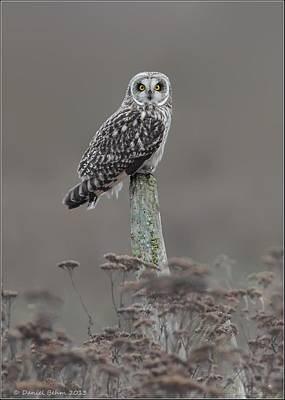 Poster featuring the photograph Short Ear Owl by Daniel Behm