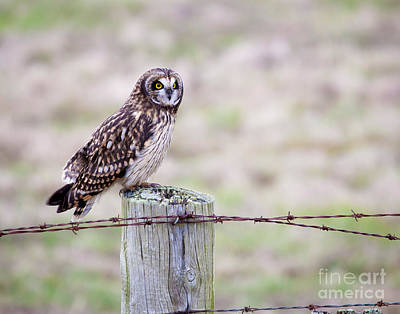 Short Eared Owl Boundary Bay Poster by Chris Dutton