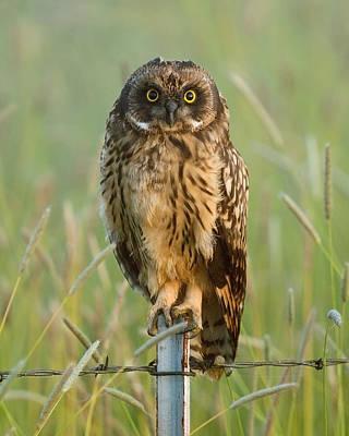 Short-eared Owl Poster by Doug Herr