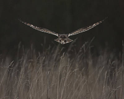 Poster featuring the photograph Short Eared Owl Focused by Paul Scoullar