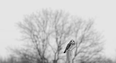 Short-eared Owl In Black And White Poster