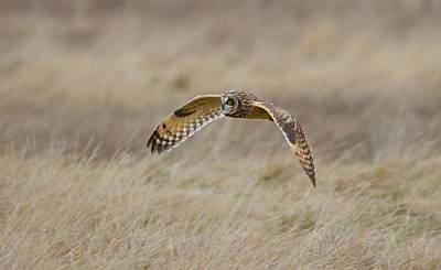 Poster featuring the photograph Short-eared Owl In Flight by Kathy King
