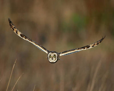 Poster featuring the photograph Short Eared Owl by Paul Scoullar