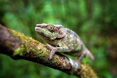 Short-horned Chameleon Poster