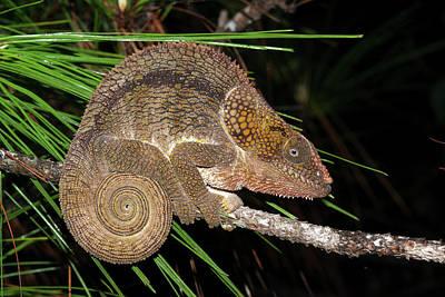 Short-horned Chameleon Poster