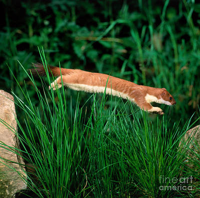 Short-tailed Weasel Poster