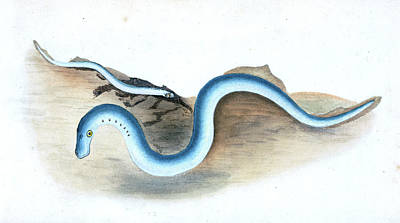 Shorter Pipe-fish, Syngnathus Typhle, 1804 Poster by Artokoloro