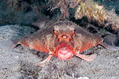 Shortnose Batfish Poster
