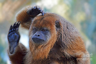 Should I Wave Or Salute  A Brown Howler Monkey Poster by Jim Fitzpatrick