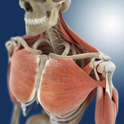 Shoulder And Chest Anatomy Poster