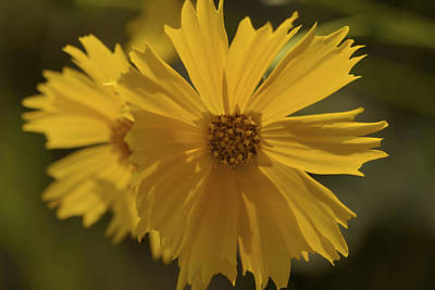 Show Off - Coreopsis Photograph Poster by Jane Eleanor Nicholas