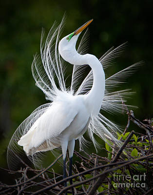 Showy Egret Poster