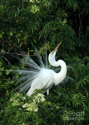 Showy Great White Egret Poster by Sabrina L Ryan