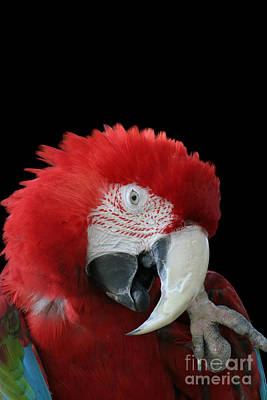 Shy Macaw Poster by Judy Whitton