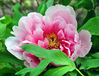 Shy Peony Poster