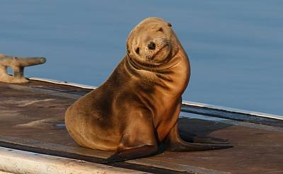 Poster featuring the photograph Shy Sea Lion Pup  by Christy Pooschke