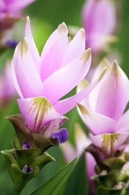 Siam Tulip (curcuma Alismatifolia) Poster