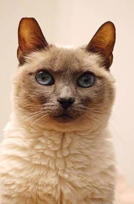 Siamese Cat Poster by Richard Cheski