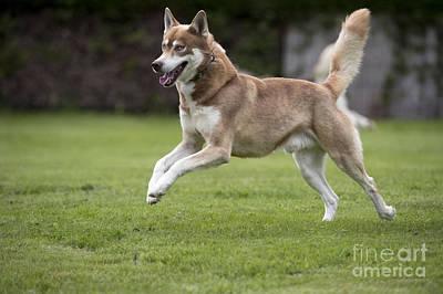 Siberian Husky Running Poster