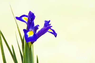 Siberian Iris Poster by Tim Gainey
