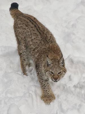 Siberian Lynx Poster by Wade Aiken