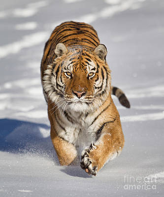 Siberian Tiger Coming Forward Poster