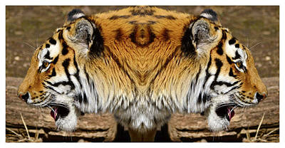 Siberian Tiger Double Portrait  Poster by Tommytechno Sweden