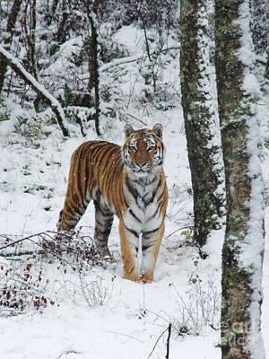 Siberian Tiger - Snow Wood Poster