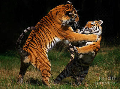 Poster featuring the photograph Siberian Tigers In Fight by Nick  Biemans
