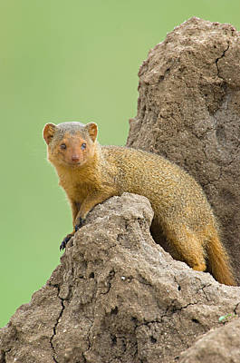 Side Profile Of A Dwarf Mongoose Poster