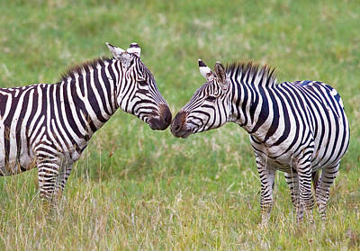 Side Profile Of Two Zebras Touching Poster by Panoramic Images