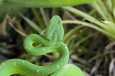 Side-striped Palm Viper Poster by Science Photo Library