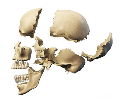 Side View Of Human Skull With Parts Poster by Leonello Calvetti