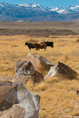 Poster featuring the photograph Sierra Cattle by Jan Davies
