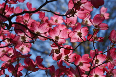 Silhouette Of A Dogwood Poster by Karen Ray