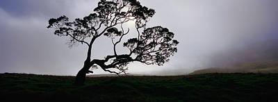 Silhouette Of A Koa Tree, Mauna Kea Poster