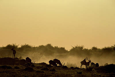 Silhouette Of Lechwe, Kobus Leche Poster by Beverly Joubert