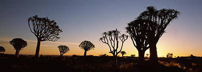 Silhouette Of Quiver Trees Aloe Poster by Panoramic Images