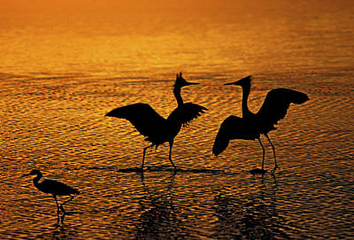 Silhouettes Of Reddish Egrets Conduct Poster by Jaynes Gallery