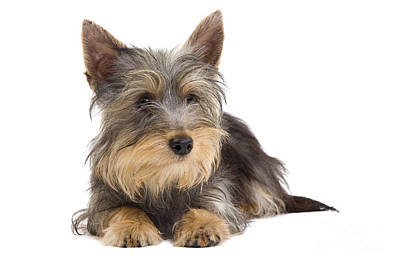 Silky Terrier Puppy Dog Poster
